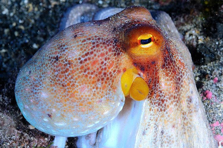 Octopuss safari diving